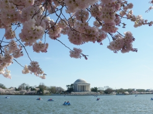 Cherry Blossom / Jefferson Memorial